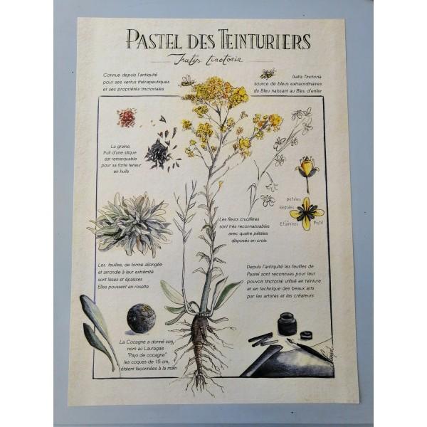 Affiche botanique dessinée à la main, expliquant l'histoire du pastel ainsi que ses diverses applications